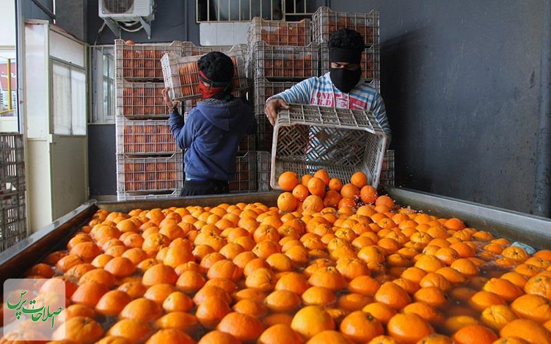 آغاز-عرضه-میوه-تنظیم-بازاری-شب-عید-وکیوم-پرتقالها-در-پلاستیک